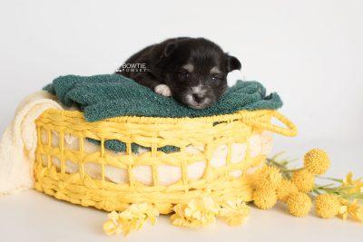 puppy196 week3 BowTiePomsky.com Bowtie Pomsky Puppy For Sale Husky Pomeranian Mini Dog Spokane WA Breeder Blue Eyes Pomskies Celebrity Puppy web6