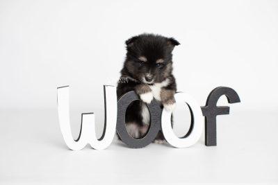 puppy196 week5 BowTiePomsky.com Bowtie Pomsky Puppy For Sale Husky Pomeranian Mini Dog Spokane WA Breeder Blue Eyes Pomskies Celebrity Puppy web6