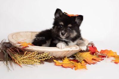 puppy196 week7 BowTiePomsky.com Bowtie Pomsky Puppy For Sale Husky Pomeranian Mini Dog Spokane WA Breeder Blue Eyes Pomskies Celebrity Puppy web4
