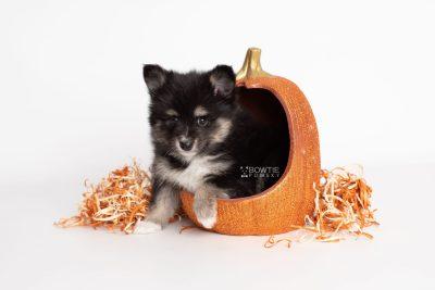 puppy196 week7 BowTiePomsky.com Bowtie Pomsky Puppy For Sale Husky Pomeranian Mini Dog Spokane WA Breeder Blue Eyes Pomskies Celebrity Puppy web5