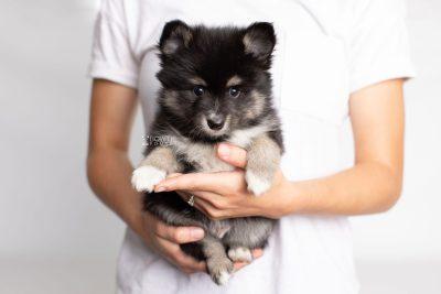 puppy196 week7 BowTiePomsky.com Bowtie Pomsky Puppy For Sale Husky Pomeranian Mini Dog Spokane WA Breeder Blue Eyes Pomskies Celebrity Puppy web7