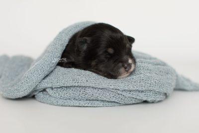 puppy197 week1 BowTiePomsky.com Bowtie Pomsky Puppy For Sale Husky Pomeranian Mini Dog Spokane WA Breeder Blue Eyes Pomskies Celebrity Puppy web7