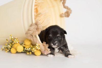 puppy197 week3 BowTiePomsky.com Bowtie Pomsky Puppy For Sale Husky Pomeranian Mini Dog Spokane WA Breeder Blue Eyes Pomskies Celebrity Puppy web1