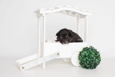 puppy197 week3 BowTiePomsky.com Bowtie Pomsky Puppy For Sale Husky Pomeranian Mini Dog Spokane WA Breeder Blue Eyes Pomskies Celebrity Puppy web2