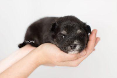 puppy197 week3 BowTiePomsky.com Bowtie Pomsky Puppy For Sale Husky Pomeranian Mini Dog Spokane WA Breeder Blue Eyes Pomskies Celebrity Puppy web8