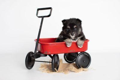 puppy197 week5 BowTiePomsky.com Bowtie Pomsky Puppy For Sale Husky Pomeranian Mini Dog Spokane WA Breeder Blue Eyes Pomskies Celebrity Puppy web1