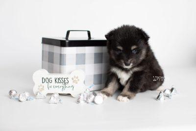 puppy197 week5 BowTiePomsky.com Bowtie Pomsky Puppy For Sale Husky Pomeranian Mini Dog Spokane WA Breeder Blue Eyes Pomskies Celebrity Puppy web3