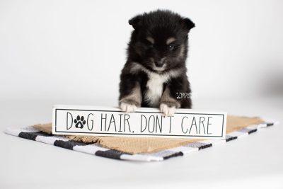 puppy197 week5 BowTiePomsky.com Bowtie Pomsky Puppy For Sale Husky Pomeranian Mini Dog Spokane WA Breeder Blue Eyes Pomskies Celebrity Puppy web4