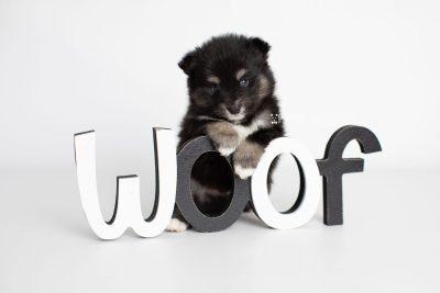 puppy197 week5 BowTiePomsky.com Bowtie Pomsky Puppy For Sale Husky Pomeranian Mini Dog Spokane WA Breeder Blue Eyes Pomskies Celebrity Puppy web5