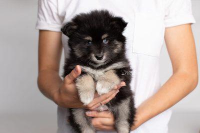 puppy197 week7 BowTiePomsky.com Bowtie Pomsky Puppy For Sale Husky Pomeranian Mini Dog Spokane WA Breeder Blue Eyes Pomskies Celebrity Puppy web10