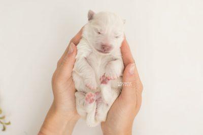 puppy198 week1 BowTiePomsky.com Bowtie Pomsky Puppy For Sale Husky Pomeranian Mini Dog Spokane WA Breeder Blue Eyes Pomskies Celebrity Puppy web10