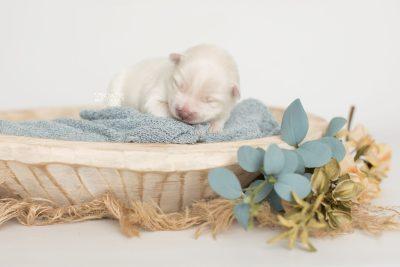puppy198 week1 BowTiePomsky.com Bowtie Pomsky Puppy For Sale Husky Pomeranian Mini Dog Spokane WA Breeder Blue Eyes Pomskies Celebrity Puppy web2