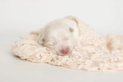 puppy198 week1 BowTiePomsky.com Bowtie Pomsky Puppy For Sale Husky Pomeranian Mini Dog Spokane WA Breeder Blue Eyes Pomskies Celebrity Puppy web5