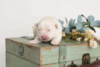 puppy198 week1 BowTiePomsky.com Bowtie Pomsky Puppy For Sale Husky Pomeranian Mini Dog Spokane WA Breeder Blue Eyes Pomskies Celebrity Puppy web6