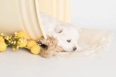 puppy198 week3 BowTiePomsky.com Bowtie Pomsky Puppy For Sale Husky Pomeranian Mini Dog Spokane WA Breeder Blue Eyes Pomskies Celebrity Puppy web1