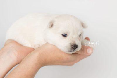 puppy198 week3 BowTiePomsky.com Bowtie Pomsky Puppy For Sale Husky Pomeranian Mini Dog Spokane WA Breeder Blue Eyes Pomskies Celebrity Puppy web8