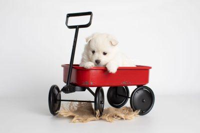 puppy198 week5 BowTiePomsky.com Bowtie Pomsky Puppy For Sale Husky Pomeranian Mini Dog Spokane WA Breeder Blue Eyes Pomskies Celebrity Puppy web1