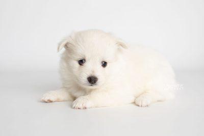 puppy198 week5 BowTiePomsky.com Bowtie Pomsky Puppy For Sale Husky Pomeranian Mini Dog Spokane WA Breeder Blue Eyes Pomskies Celebrity Puppy web4