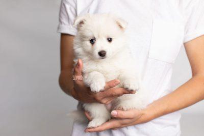 puppy198 week7 BowTiePomsky.com Bowtie Pomsky Puppy For Sale Husky Pomeranian Mini Dog Spokane WA Breeder Blue Eyes Pomskies Celebrity Puppy web8
