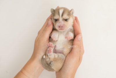 puppy199 week1 BowTiePomsky.com Bowtie Pomsky Puppy For Sale Husky Pomeranian Mini Dog Spokane WA Breeder Blue Eyes Pomskies Celebrity Puppy web10