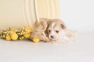 puppy199 week3 BowTiePomsky.com Bowtie Pomsky Puppy For Sale Husky Pomeranian Mini Dog Spokane WA Breeder Blue Eyes Pomskies Celebrity Puppy web1