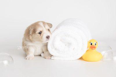 puppy199 week3 BowTiePomsky.com Bowtie Pomsky Puppy For Sale Husky Pomeranian Mini Dog Spokane WA Breeder Blue Eyes Pomskies Celebrity Puppy web5