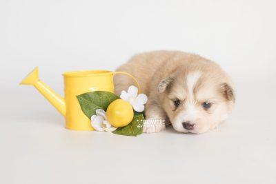 puppy199 week3 BowTiePomsky.com Bowtie Pomsky Puppy For Sale Husky Pomeranian Mini Dog Spokane WA Breeder Blue Eyes Pomskies Celebrity Puppy web8