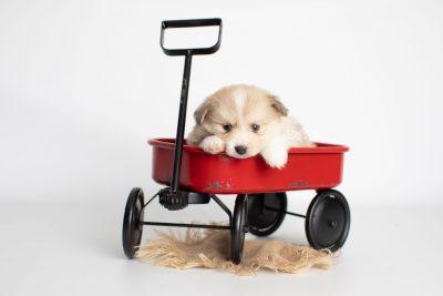 puppy199 week5 BowTiePomsky.com Bowtie Pomsky Puppy For Sale Husky Pomeranian Mini Dog Spokane WA Breeder Blue Eyes Pomskies Celebrity Puppy web1