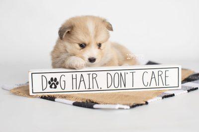 puppy199 week5 BowTiePomsky.com Bowtie Pomsky Puppy For Sale Husky Pomeranian Mini Dog Spokane WA Breeder Blue Eyes Pomskies Celebrity Puppy web6
