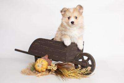 puppy199 week7 BowTiePomsky.com Bowtie Pomsky Puppy For Sale Husky Pomeranian Mini Dog Spokane WA Breeder Blue Eyes Pomskies Celebrity Puppy web1