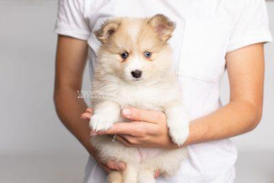 puppy199 week7 BowTiePomsky.com Bowtie Pomsky Puppy For Sale Husky Pomeranian Mini Dog Spokane WA Breeder Blue Eyes Pomskies Celebrity Puppy web7