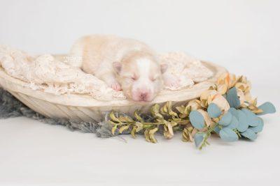puppy201 week1 BowTiePomsky.com Bowtie Pomsky Puppy For Sale Husky Pomeranian Mini Dog Spokane WA Breeder Blue Eyes Pomskies Celebrity Puppy web1