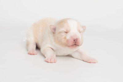 puppy201 week1 BowTiePomsky.com Bowtie Pomsky Puppy For Sale Husky Pomeranian Mini Dog Spokane WA Breeder Blue Eyes Pomskies Celebrity Puppy web3