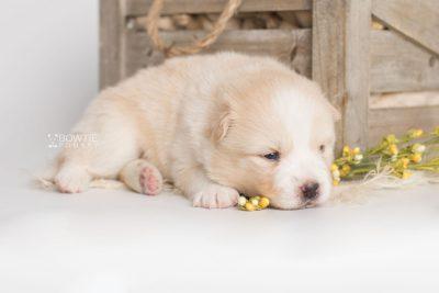 puppy201 week3 BowTiePomsky.com Bowtie Pomsky Puppy For Sale Husky Pomeranian Mini Dog Spokane WA Breeder Blue Eyes Pomskies Celebrity Puppy web2