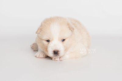 puppy201 week3 BowTiePomsky.com Bowtie Pomsky Puppy For Sale Husky Pomeranian Mini Dog Spokane WA Breeder Blue Eyes Pomskies Celebrity Puppy web6