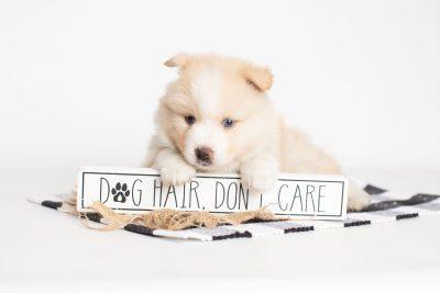 puppy201 week5 BowTiePomsky.com Bowtie Pomsky Puppy For Sale Husky Pomeranian Mini Dog Spokane WA Breeder Blue Eyes Pomskies Celebrity Puppy web1