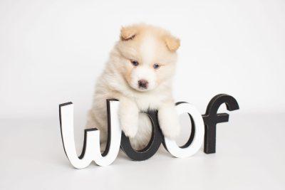 puppy201 week5 BowTiePomsky.com Bowtie Pomsky Puppy For Sale Husky Pomeranian Mini Dog Spokane WA Breeder Blue Eyes Pomskies Celebrity Puppy web3
