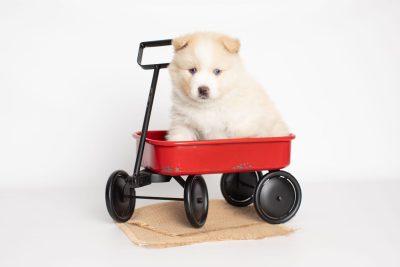 puppy201 week5 BowTiePomsky.com Bowtie Pomsky Puppy For Sale Husky Pomeranian Mini Dog Spokane WA Breeder Blue Eyes Pomskies Celebrity Puppy web4