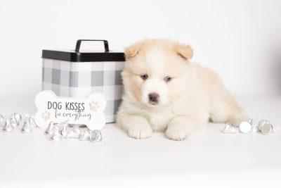 puppy201 week5 BowTiePomsky.com Bowtie Pomsky Puppy For Sale Husky Pomeranian Mini Dog Spokane WA Breeder Blue Eyes Pomskies Celebrity Puppy web5