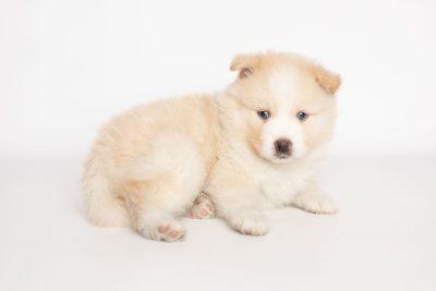 puppy201 week5 BowTiePomsky.com Bowtie Pomsky Puppy For Sale Husky Pomeranian Mini Dog Spokane WA Breeder Blue Eyes Pomskies Celebrity Puppy web6