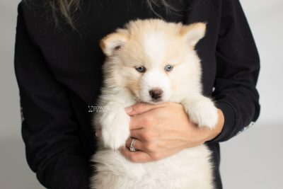 puppy201 week7 BowTiePomsky.com Bowtie Pomsky Puppy For Sale Husky Pomeranian Mini Dog Spokane WA Breeder Blue Eyes Pomskies Celebrity Puppy web2