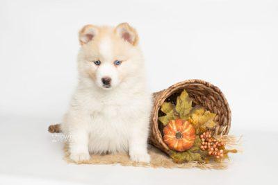 puppy201 week7 BowTiePomsky.com Bowtie Pomsky Puppy For Sale Husky Pomeranian Mini Dog Spokane WA Breeder Blue Eyes Pomskies Celebrity Puppy web7