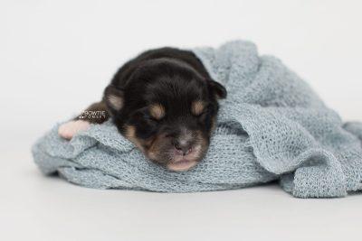 puppy202 week1 BowTiePomsky.com Bowtie Pomsky Puppy For Sale Husky Pomeranian Mini Dog Spokane WA Breeder Blue Eyes Pomskies Celebrity Puppy web4