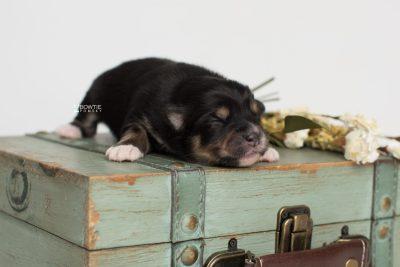 puppy202 week1 BowTiePomsky.com Bowtie Pomsky Puppy For Sale Husky Pomeranian Mini Dog Spokane WA Breeder Blue Eyes Pomskies Celebrity Puppy web5