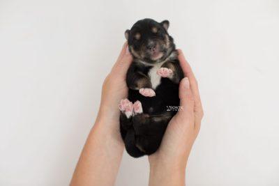 puppy202 week1 BowTiePomsky.com Bowtie Pomsky Puppy For Sale Husky Pomeranian Mini Dog Spokane WA Breeder Blue Eyes Pomskies Celebrity Puppy web7
