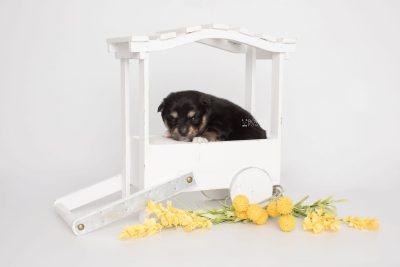 puppy202 week3 BowTiePomsky.com Bowtie Pomsky Puppy For Sale Husky Pomeranian Mini Dog Spokane WA Breeder Blue Eyes Pomskies Celebrity Puppy web2