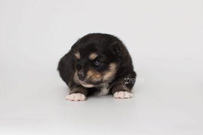 puppy202 week3 BowTiePomsky.com Bowtie Pomsky Puppy For Sale Husky Pomeranian Mini Dog Spokane WA Breeder Blue Eyes Pomskies Celebrity Puppy web4
