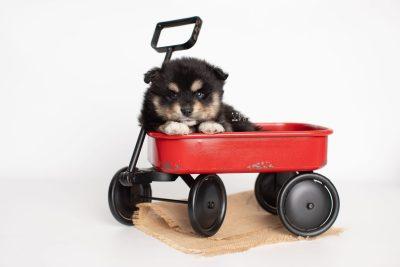 puppy202 week5 BowTiePomsky.com Bowtie Pomsky Puppy For Sale Husky Pomeranian Mini Dog Spokane WA Breeder Blue Eyes Pomskies Celebrity Puppy web2