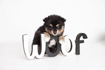 puppy202 week5 BowTiePomsky.com Bowtie Pomsky Puppy For Sale Husky Pomeranian Mini Dog Spokane WA Breeder Blue Eyes Pomskies Celebrity Puppy web4