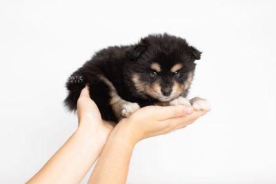 puppy202 week5 BowTiePomsky.com Bowtie Pomsky Puppy For Sale Husky Pomeranian Mini Dog Spokane WA Breeder Blue Eyes Pomskies Celebrity Puppy web7